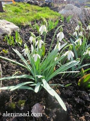 Galanthus nivalis, подснежники, галантусы, весна, веcной, ростки, черенки, аленин сад, aleninsad