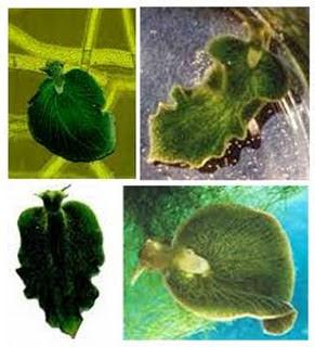 siput-laut-hijau-setengah-hewan-setengah-tumbuhan