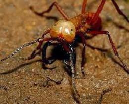 Semut Peluru (Bullet Ant)