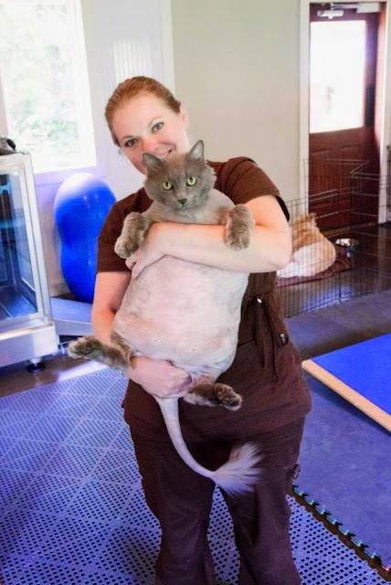 Η πιο παχιά γάτα στον κόσμο μπήκε στο γυμναστήριο