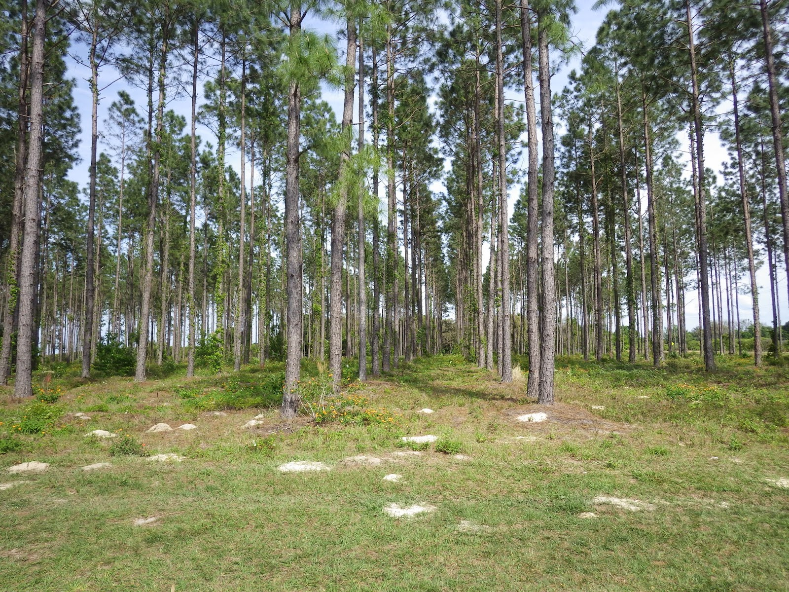 pine plantation in central Florida