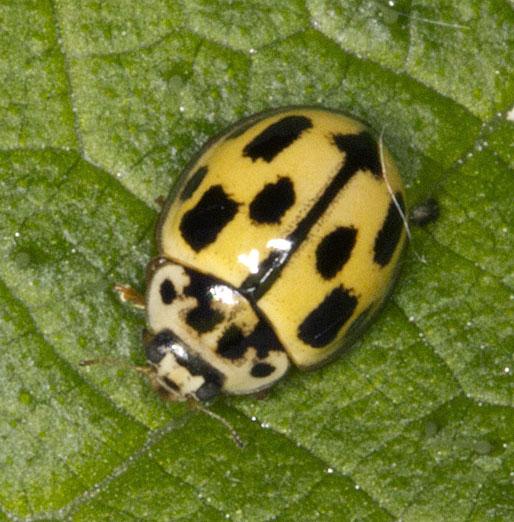 14-Spot Ladybird, Propylea quattuordecimpunctata.  Joyden's Wood, 12 May 2012.