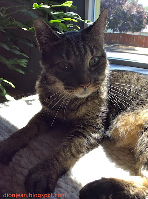Senior brown tabby cat lit up by sunshine