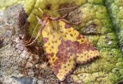 Pink-barred Sallow, Romsey, Hampshire, UK - Simon Colenutt The Deskbound Birder