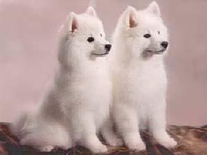 Anjing American Eskimo