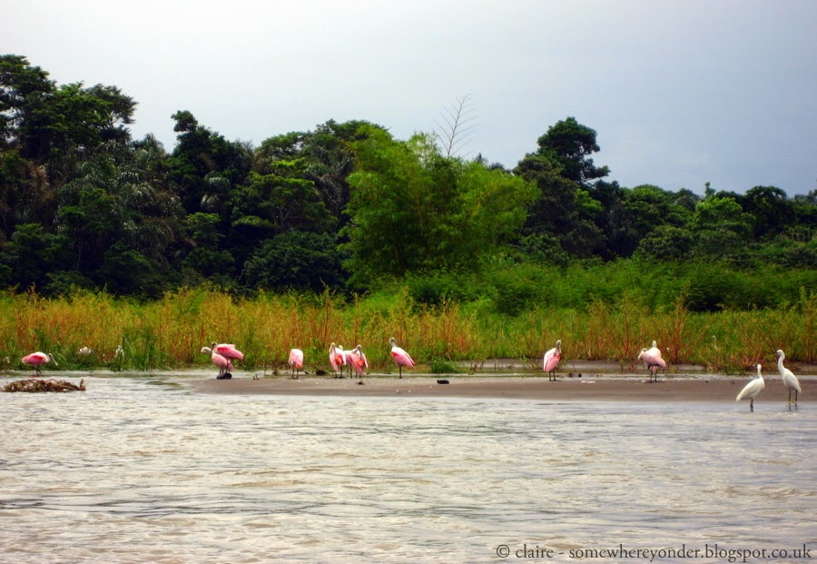 Pink Flamingos - Tortuguero National Park, Costa Rica
