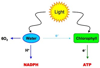 Chlorophyll Molecules In Photosystern I PSI And II PSII Absorb Light Energy The Excites Electrons Raising Their Level So