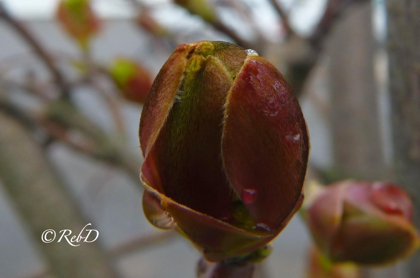blomknopp i träd, med vattendroppar. foto: Reb Dutius
