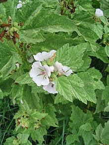 http://fr.wikipedia.org/wiki/Guimauve_officinale