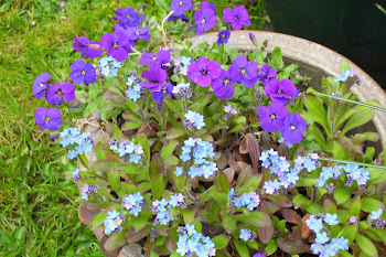 Forget me nots in a tub.