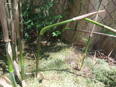 bamboo insect damage, ants, kill plant