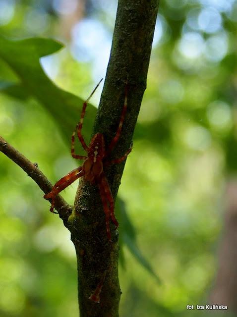 pająk , pajęczak , owady , las , podlasie , wycieczka