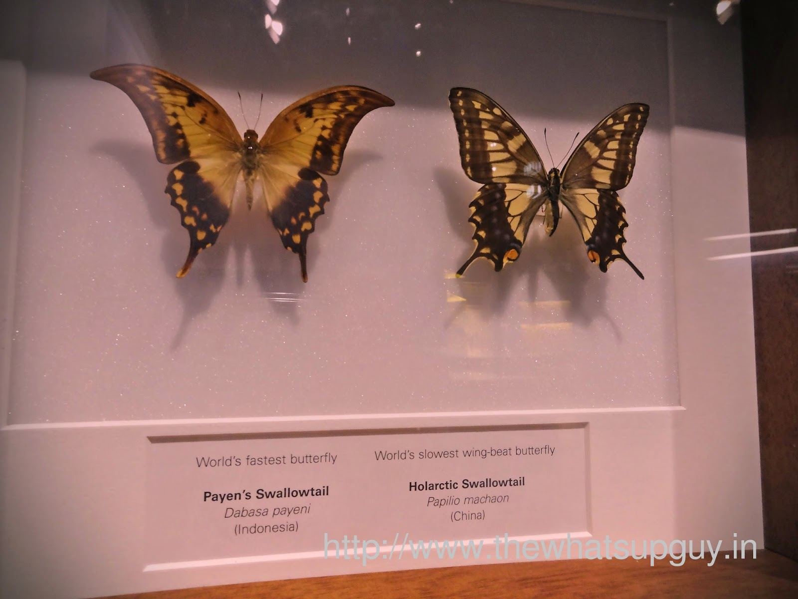 Melbourne Museum Worlds Fastest Butterfly