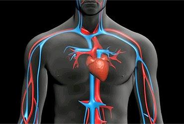 Circulaciones muscular y cutanea
