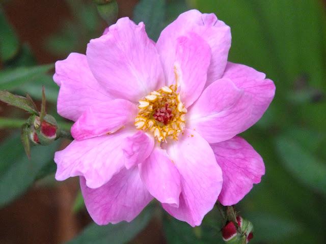 Walpaper Bunga Warna Pink