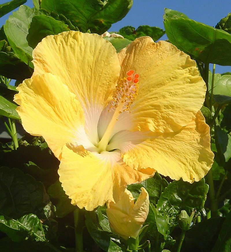 Hibiscus Flowers Pictures: Yellow Hibiscus Flower # 1
