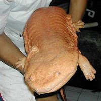Man holding a chinese giant salamander