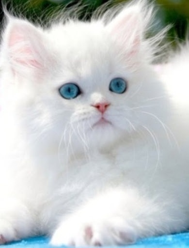 scarlett the cat