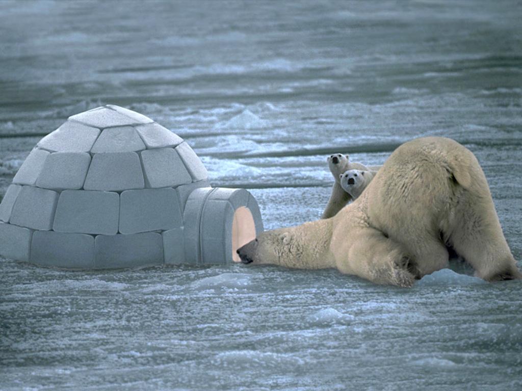 Polar bear diving into frozen water [Oso polar echándose un