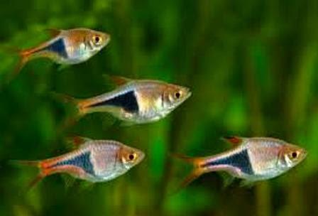 Colorful freshwater community fish harlequin rasboras for Non aggressive fish