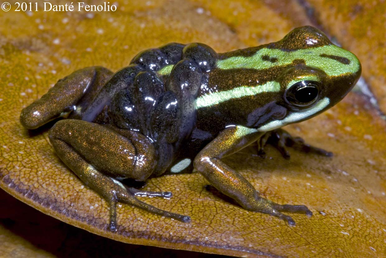 Frogs Need Our Help | Frog Blog of The Amphibian Foundation: Species ...