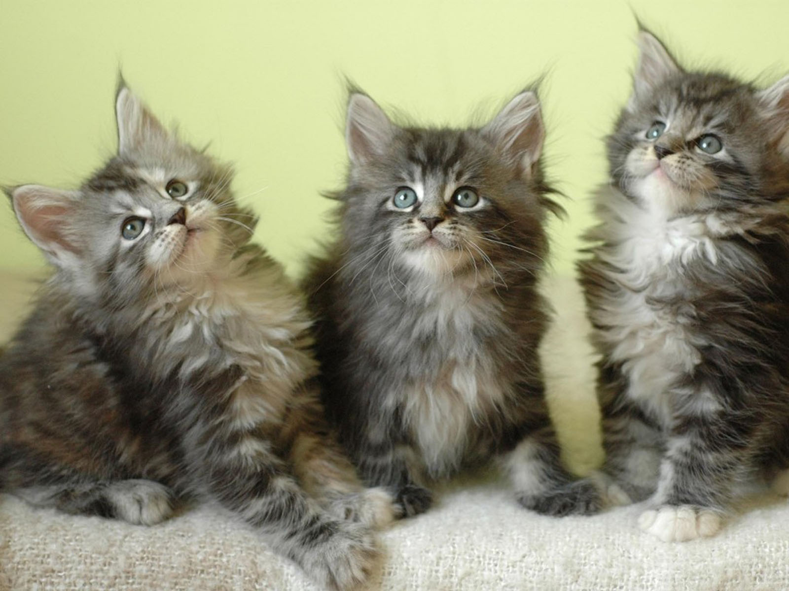 wallpapers maine coon kittens