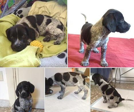 SOS dog cane adozione cucciolo Setter