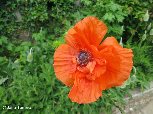 Poppy flower, Flowers in Dragalevski monastery