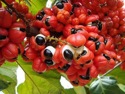 Guarana, Paullinia cupana,