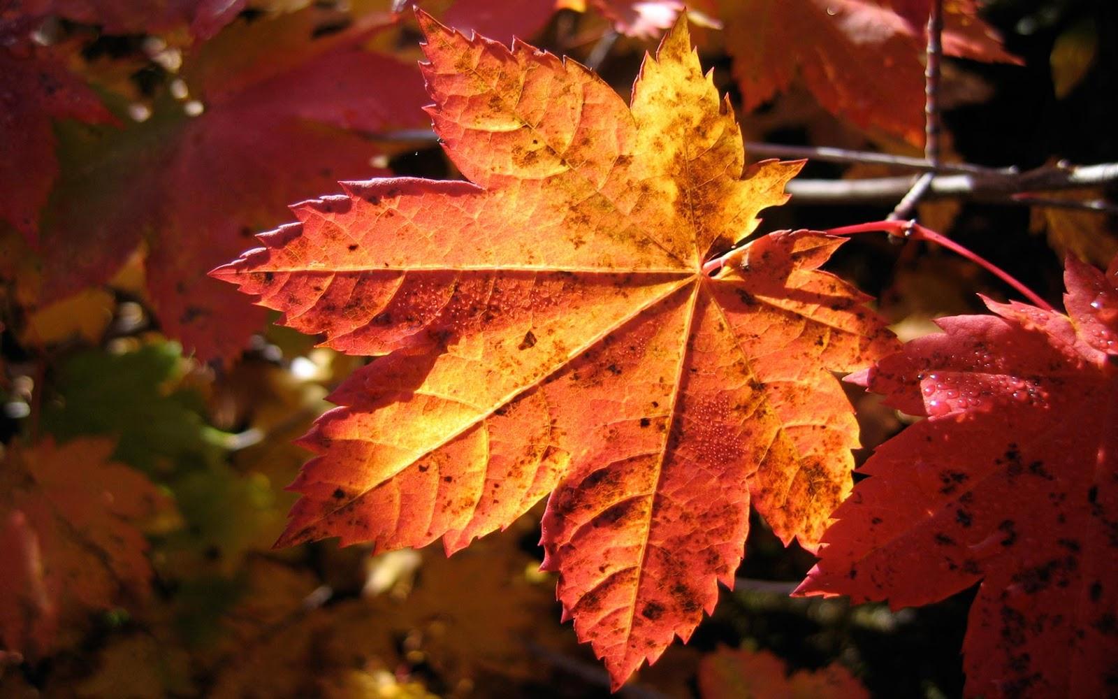 Wallpapernarium fotograf a de una bonita hoja de maple en - Fotos bonitas de otono ...