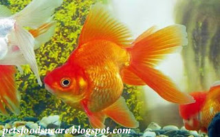 How to Caring for Goldfish