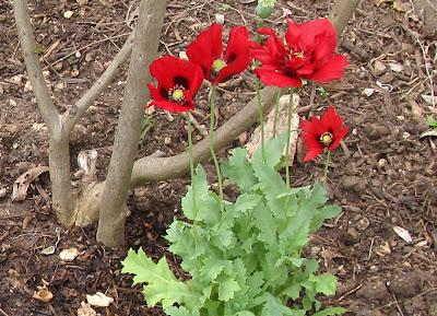 Annieinaustin,Annieinaustin, maroon poppies