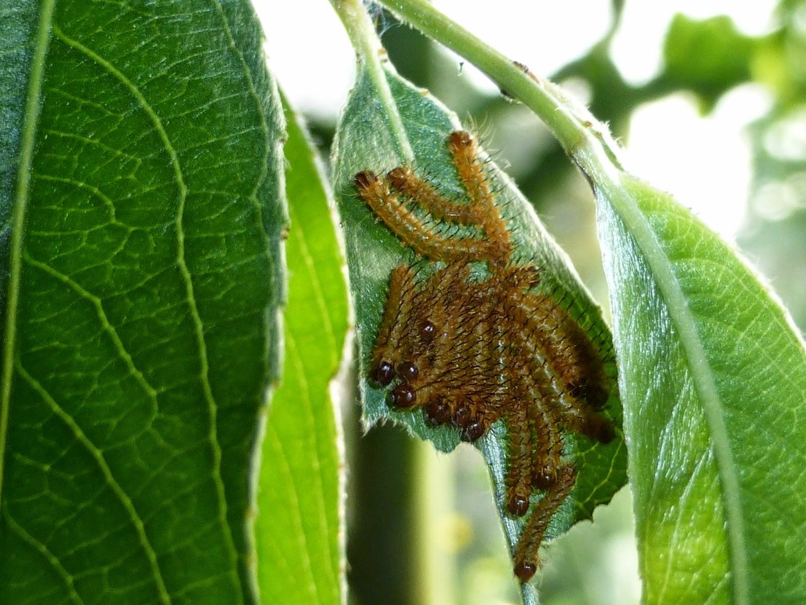 Automeris nogueira caterpillar