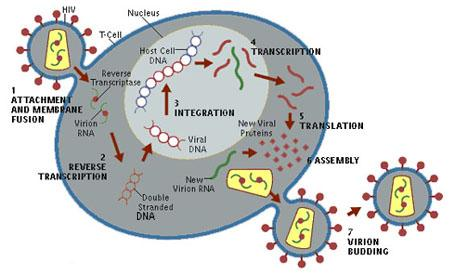 The HIV Life Cycle | Welcome to Nigeria's HIV/AIDS Information ...