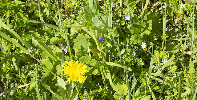 Mixture of cornfield wildflowers at Ranscombe Farm County Park, 25 May 2012.