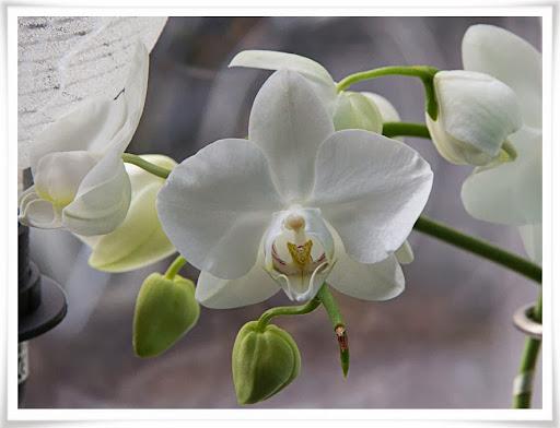 Orkidéer som blommar till jul