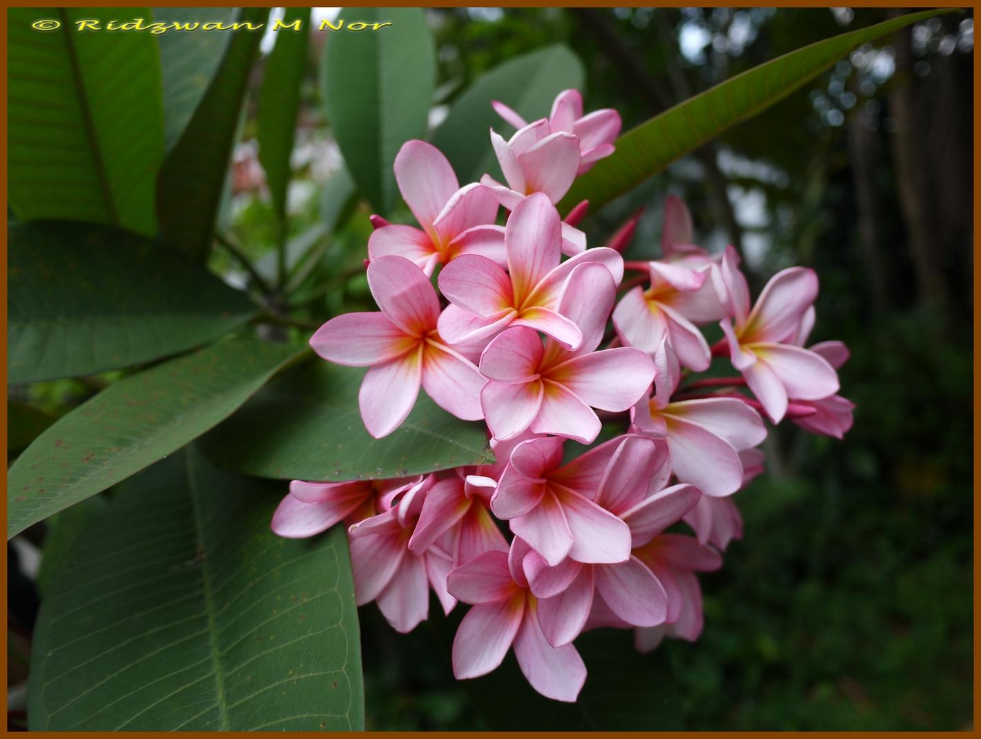Plumeria rubra Pink, Frangipani | Flowers Around Us by ...