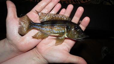 Gnathochromis permaxillaris - prosinec 2012