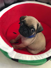pug, my name is coffee