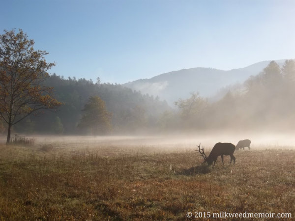 2 elk graze in the misty morning of Chataloochee Valley in the Great Smoky Mountains National Park