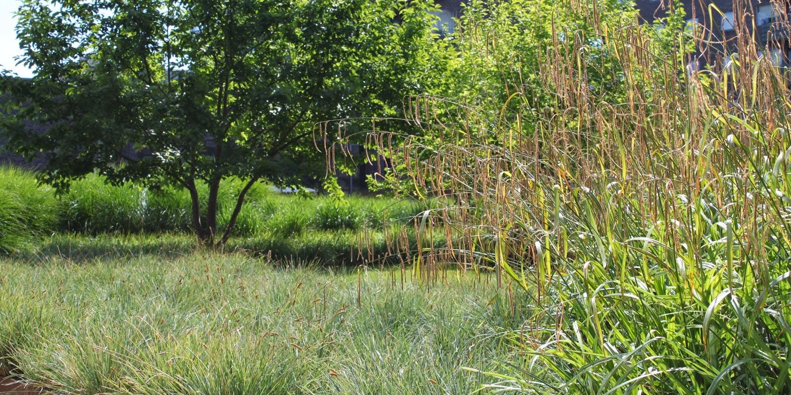 Græsser i Charlottehaven