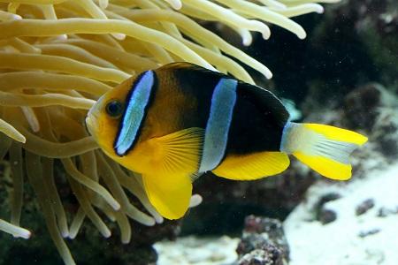 Yellowtail clownfish