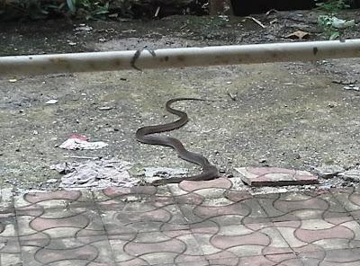 cobra, reptile, hood, snake