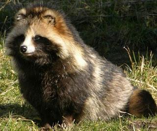 Raccoon Dog - Hewan Aneh