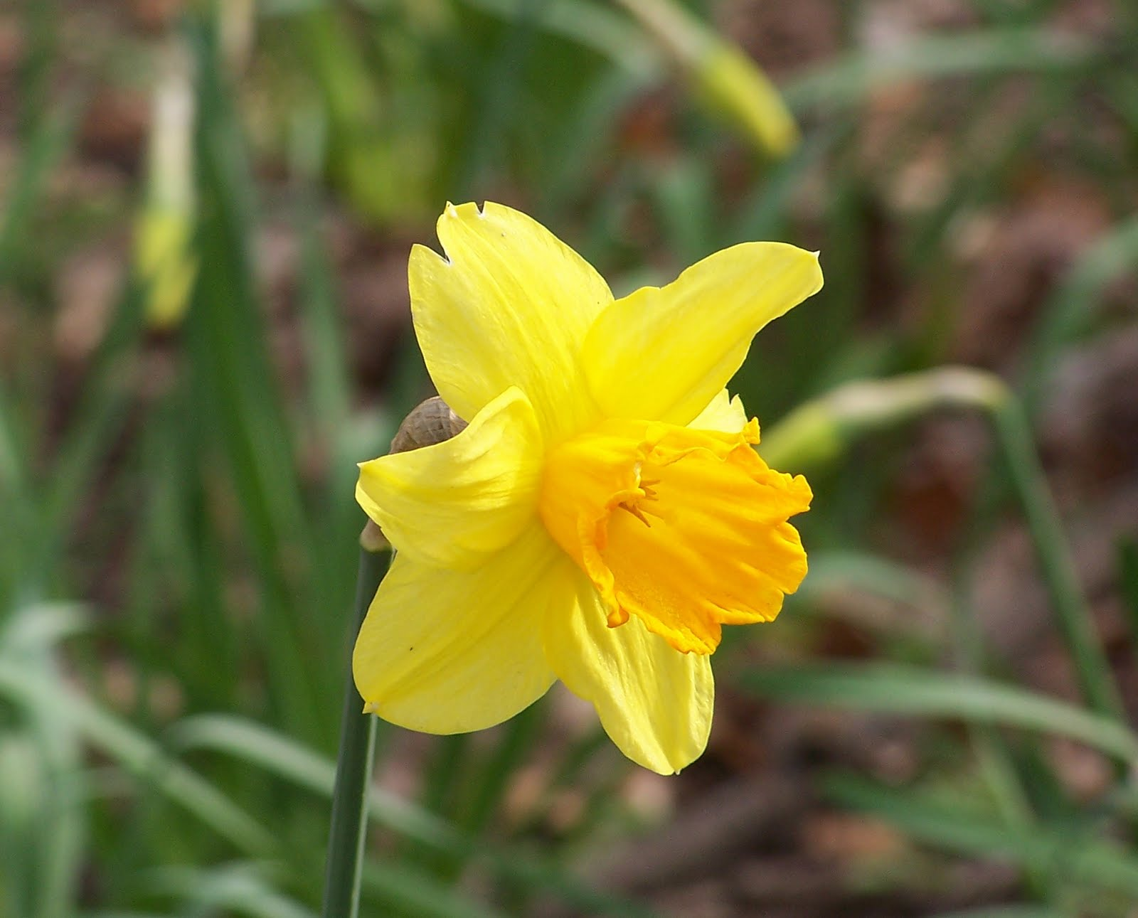 Flower Picture Narcissus Picture