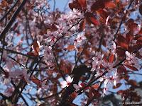 Fond d'écran avril 2011 - Printemps : cerisier en fleurs
