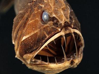 fangtooth 01 ΔΕΙΤΕ: Τα πιο παράξενα πλάσματα που έχουν βρεθεί στην θάλασσα!