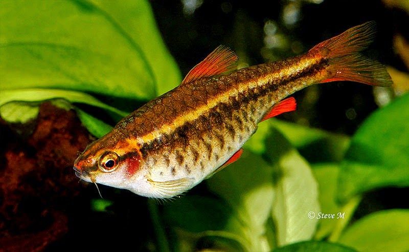Ikan Cherry Barb