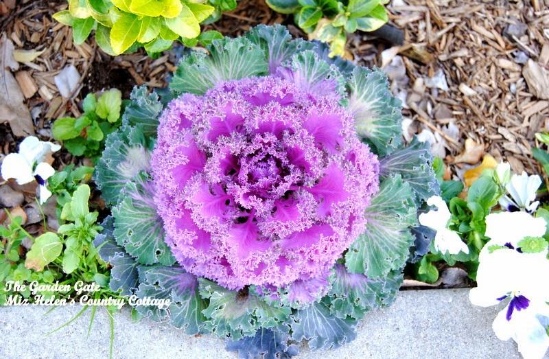 Purple Kale at Miz Helen's Country Cottage