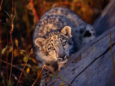 Leopard Cub Normal Desktop Backgrounds,Stills,Wallpapers